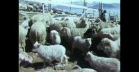 Sheep shearing in Southern Greenland 2