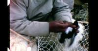 Fanger fugle med net